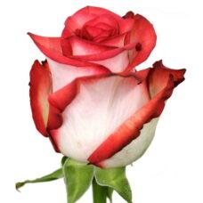 Роза Блаш (Rose Blush)