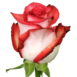 Купить в Харькове Роза Блаш (Rose Blush)