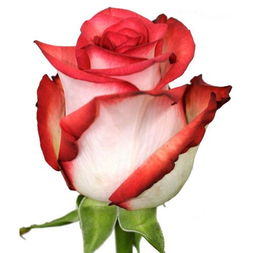 Купить в Харькове Блаш (Rose Blush)