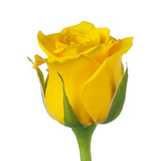 Роза Golden Ambition