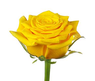Купить в Харькове Роза Golden Ambition