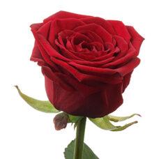 Роза Grand Prix