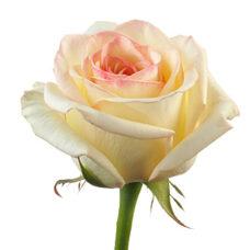 Роза Muscat