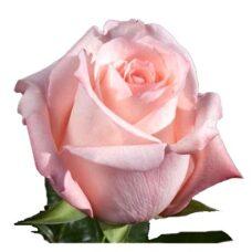Роза Ангажемент