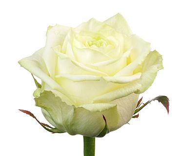 Купить в Харькове Роза Белый Шоколад