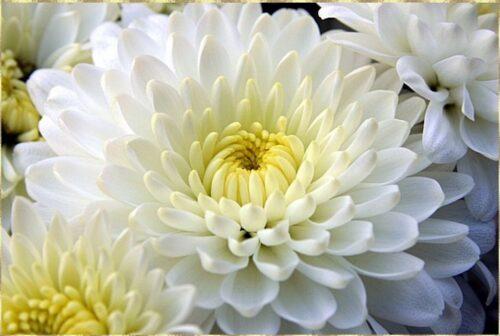 Купить в Харькове Хризантема белая
