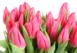 Купить в Харькове Розовые Тюльпаны