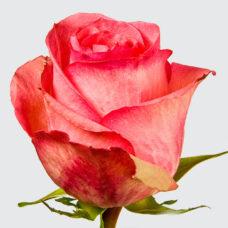 Роза Декора (Rose Decora)