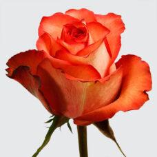 Роза Игуана (Rose Iguana)
