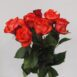 Купить в Харькове Роза Игуана (Rose Iguana)