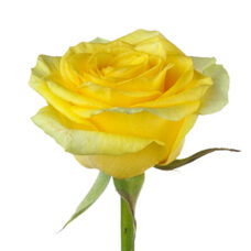 Роза Илиос(Rose Ilios)