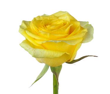 Купить в Харькове Роза Илиос(Rose Ilios)