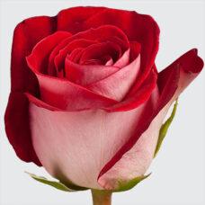 Роза Латин Леди(Latin Lady)