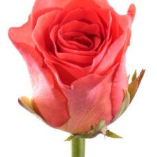Роза Вау (Rose Wow)