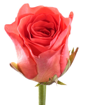 Купить в Харькове Роза Вау (Rose Wow)