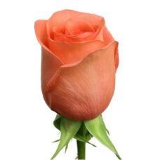 Роза Мове Стар