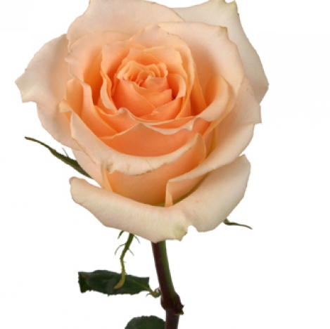 Купить в Харькове Роза Версилия