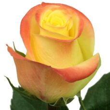 Роза Флорида (Florida)