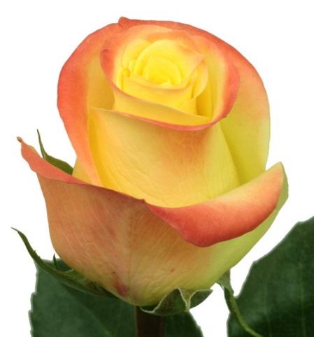 Купить в Харькове Роза Флорида (Florida)