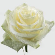 Роза Хай Пис (High Peace)