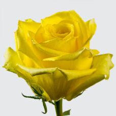 Роза Мохана(Rose Mohana)