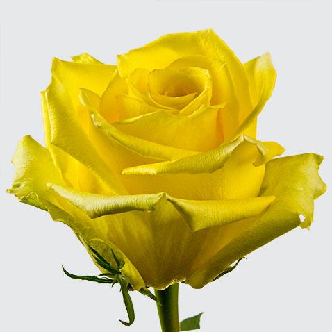 Купить в Харькове Роза Мохана(Rose Mohana)