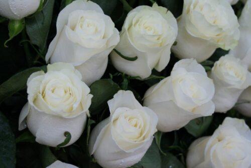 Купить в Харькове Роза Мондиаль