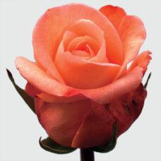 Купить в Харькове Пекубо(Rose Peckoubo)