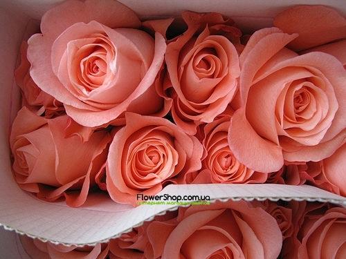 Купить в Харькове Роза Пекубо(Rose Peckoubo)