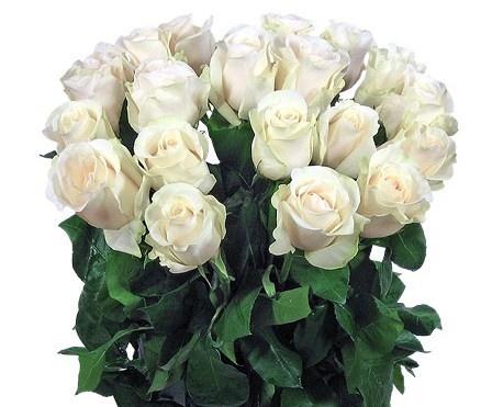 Купить в Харькове Роза Полар Стар