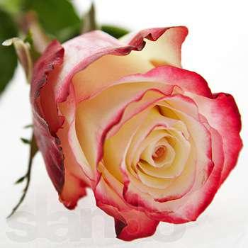 Купить в Харькове Роза Свитнес (Sweetness)