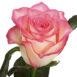 Купить в Харькове Роза Джумилия (Jumilia)